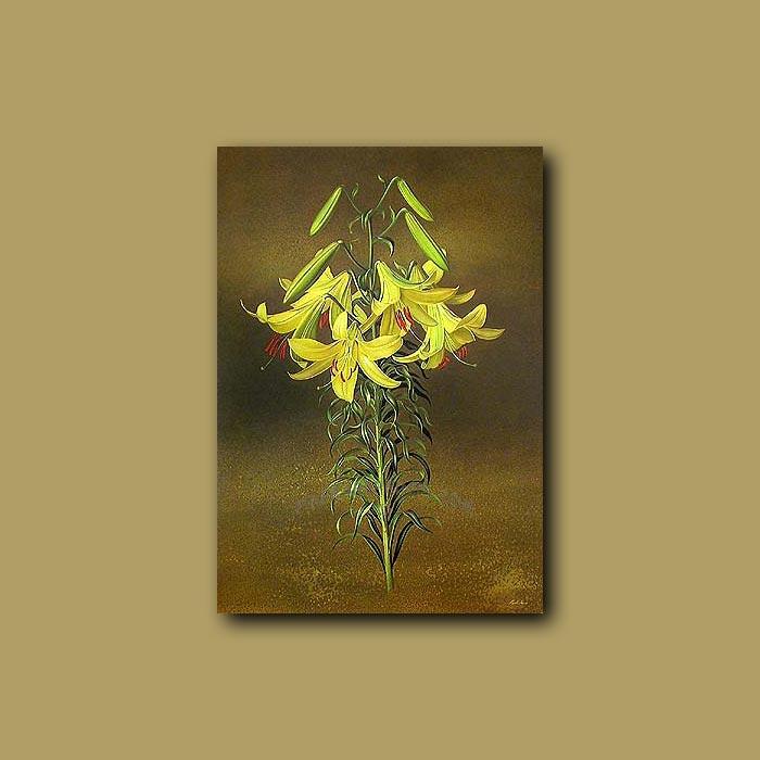 Antique print. Lilium Honeydew