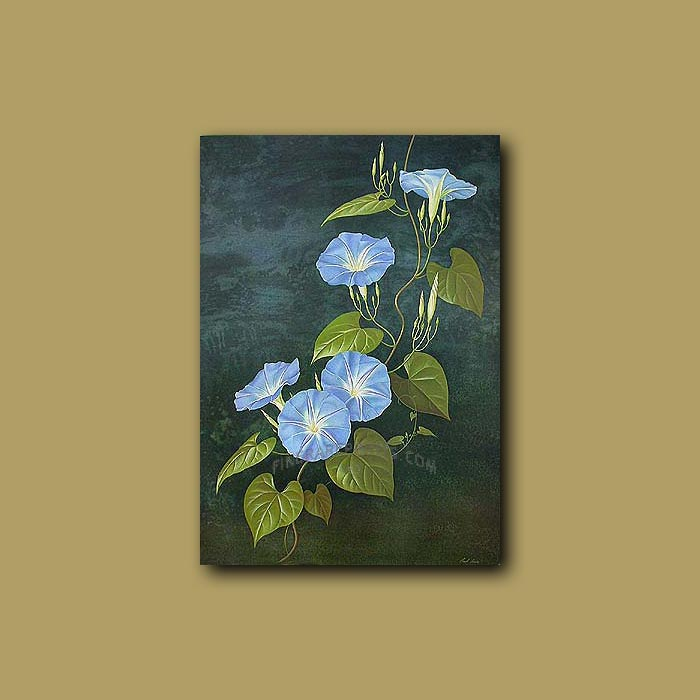Antique print. Heavenly Blue or Morning Glory