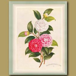 Camellia Virginia Franco, Virginia Franco Rosea And Virginia Franco Rubra