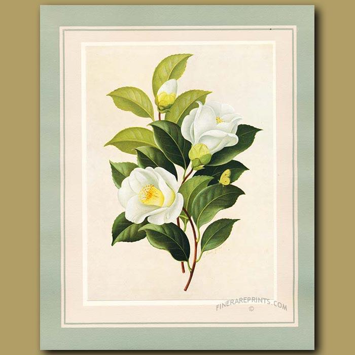Antique print. Camellia White Tulip
