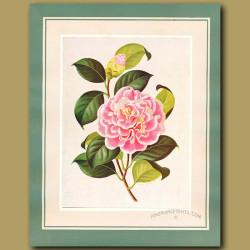 Camellia Lady Loch