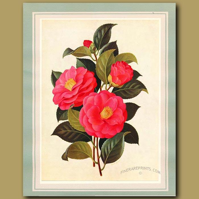 Antique print. Camellia Constance