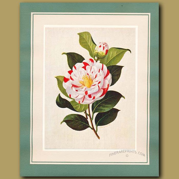 Antique print. Camellia Adrian Feint