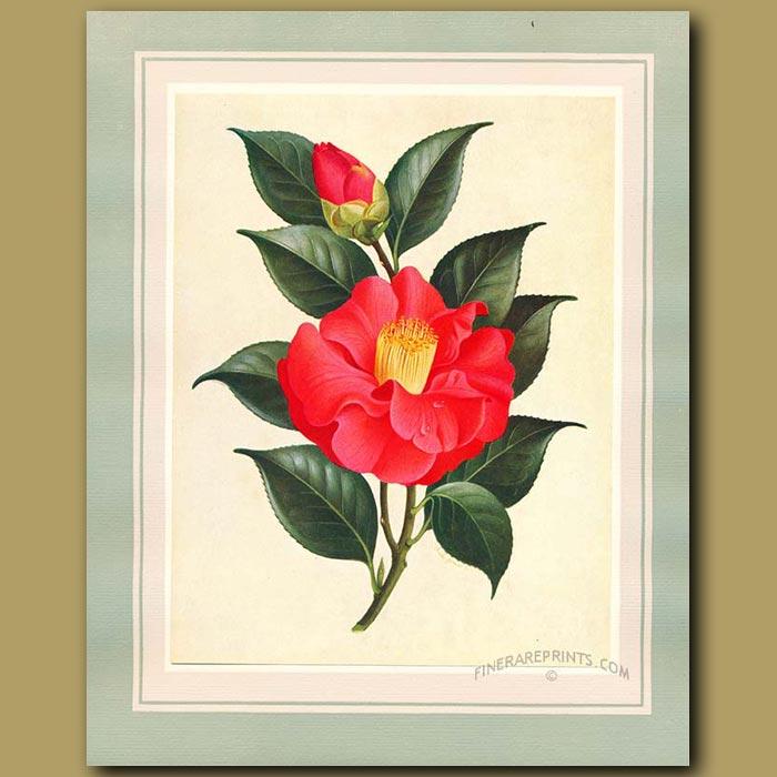 Antique print. Camellia The Czar