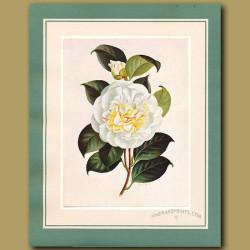 Camellia Aspasia Macarthur