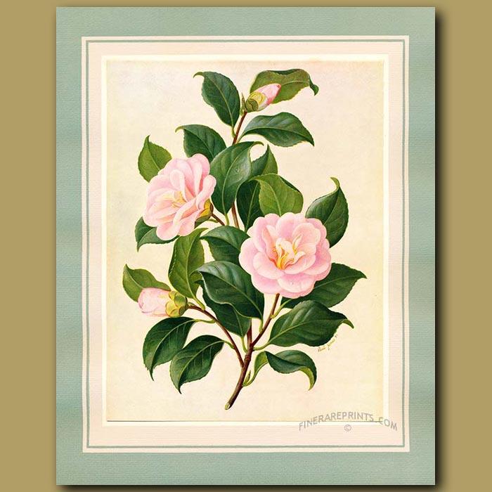 Antique print. Camellia Peach Blossom