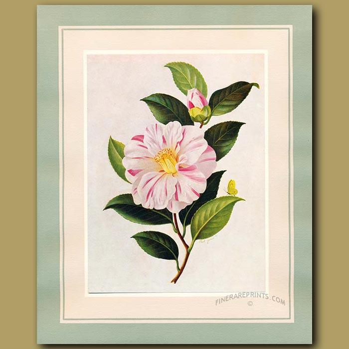 Antique print. Camellia Paul Jones