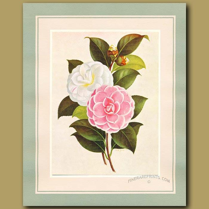 Antique print. Camellia Paolina Maggi and Mrs H.Boyce