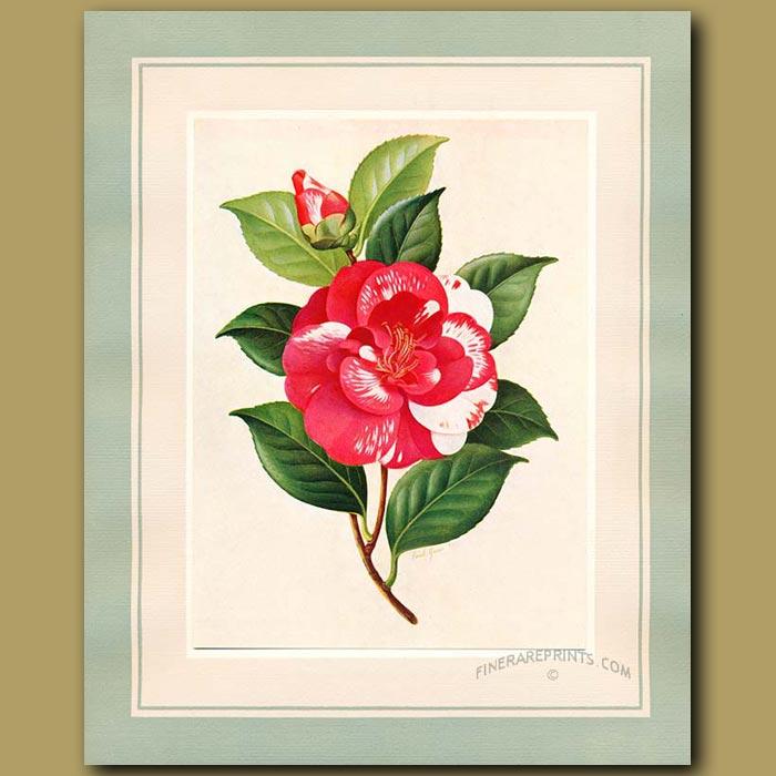 Antique print. Camellia Iwane