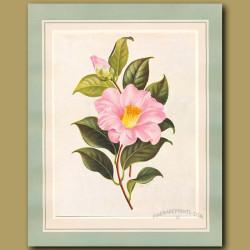 Camellia Spencer's Pink