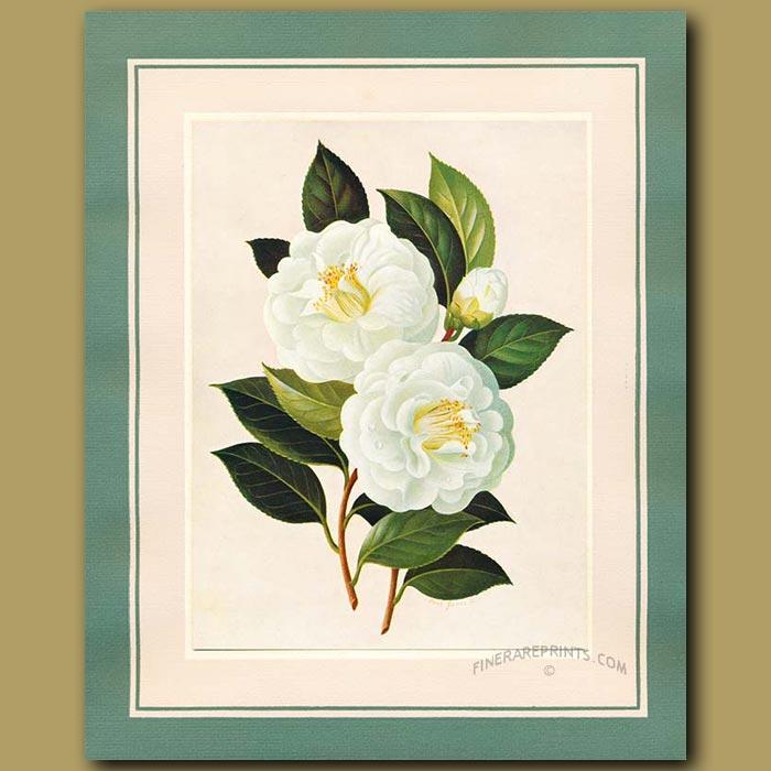 Antique print. Camellia Pukekura