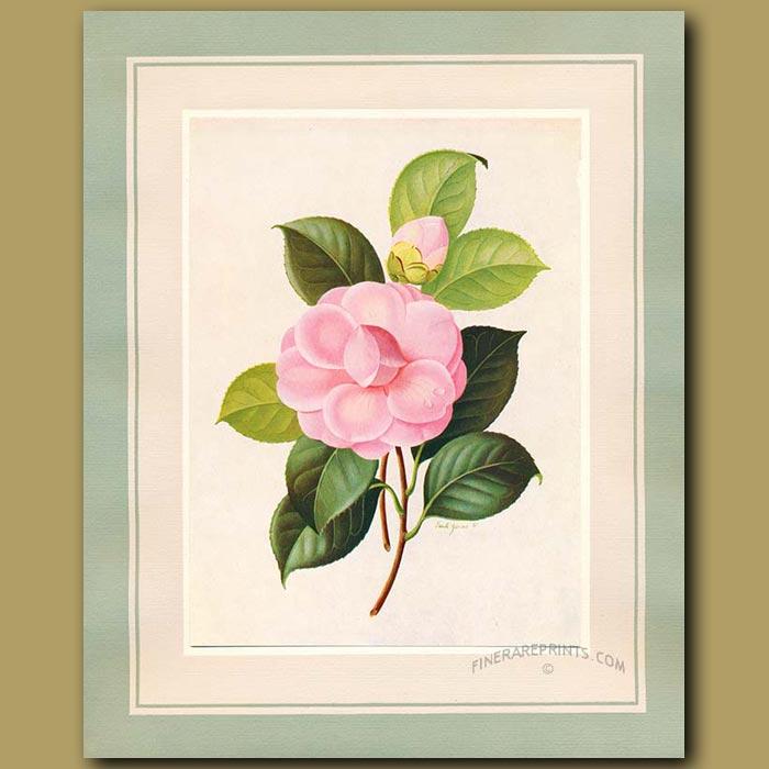Antique print. Camellia Lady St.Clair