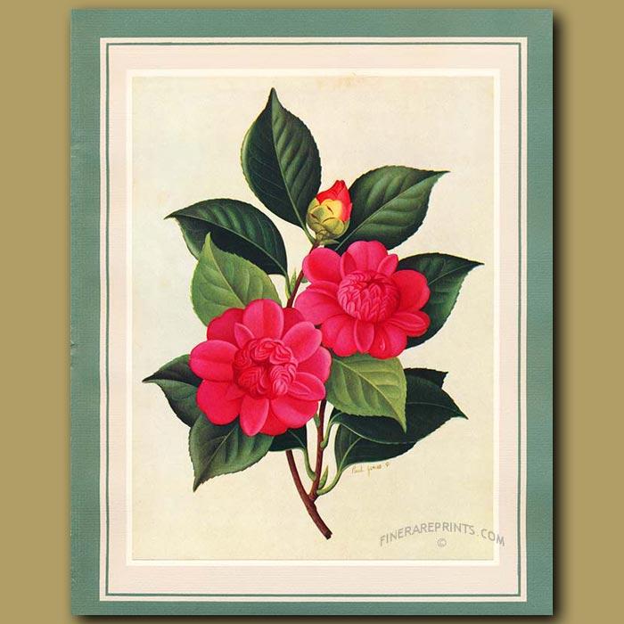 Antique print. Camellia Speciosissima