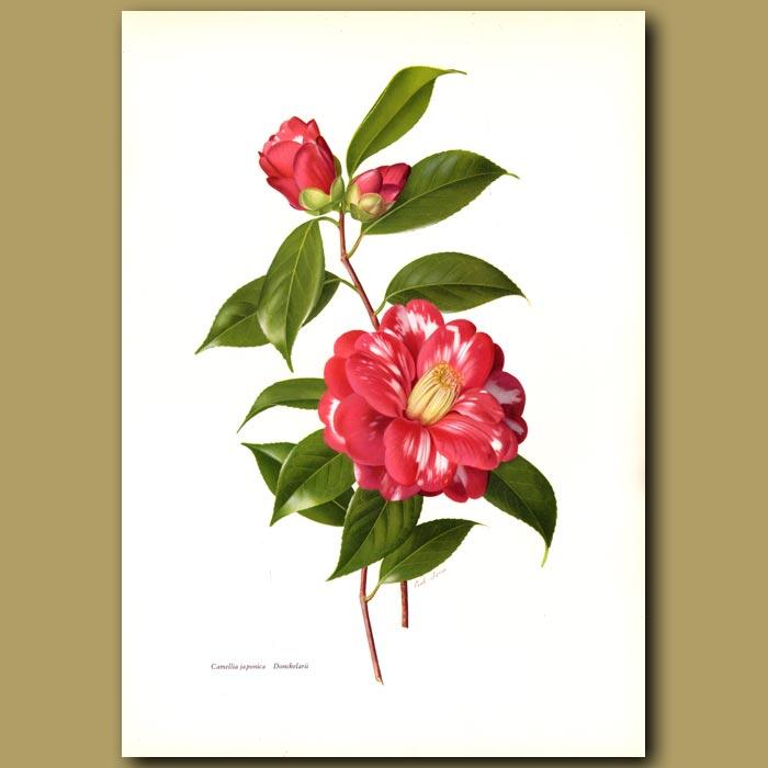 Antique print. Camellia japonica