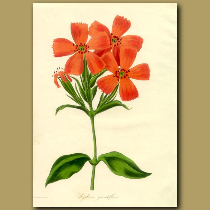 Antique print. Great Flowered Lychnis