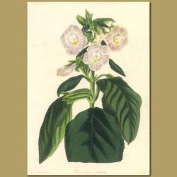 Spotted Flowered Sinningia (Gesneriad)