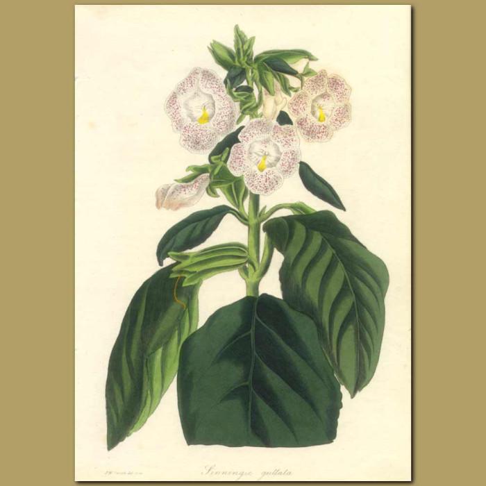 Antique print. Spotted Flowered Sinningia (Gesneriad)