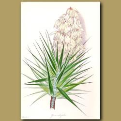 Aloe Leaved Yucca or Spanish Bayonet
