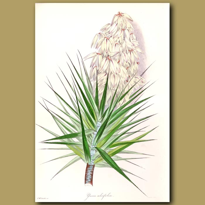Antique print. Aloe Leaved Yucca or Spanish Bayonet