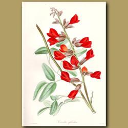 Splendid Crimson Kennedia
