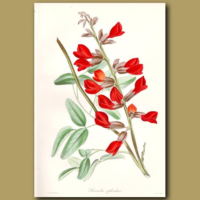 Antique print. Splendid Crimson Kennedia