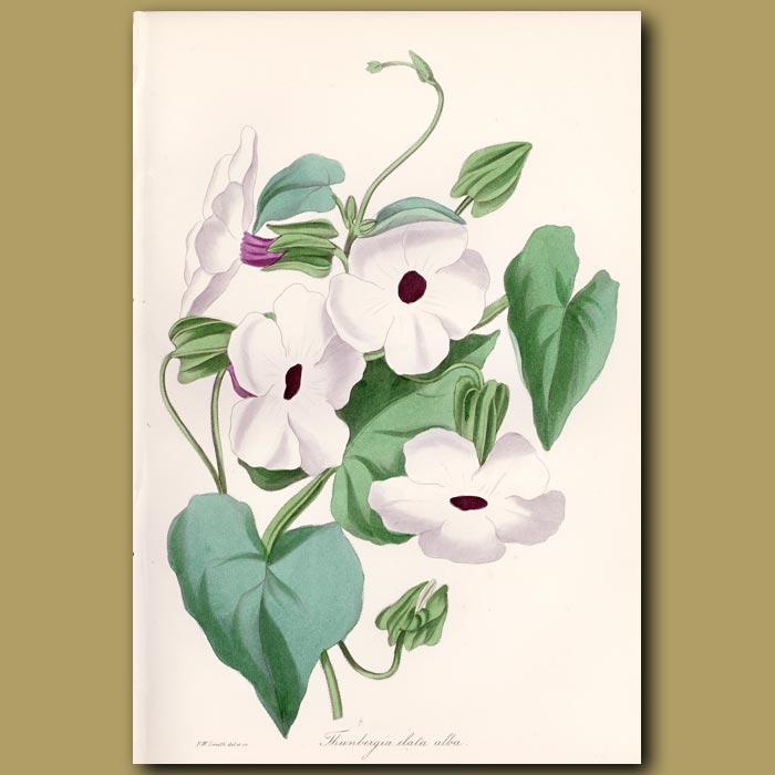 Antique print. White Flowered Winged Thunbergia