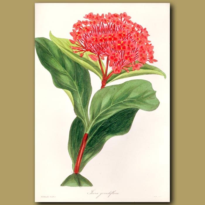 Antique print. Great Flowered Scarlet Ixora