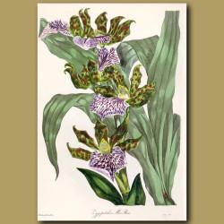 Orchid - Mr Mackay's Zygopetalon