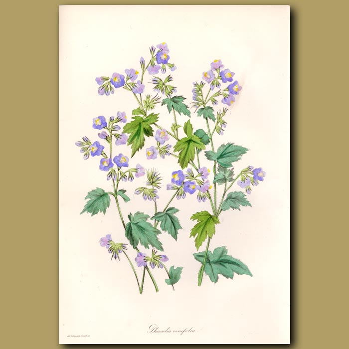 Antique print. Vine Leaved Phacelia