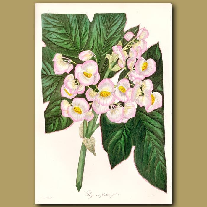 Antique print. Platanus Leaved Begonia