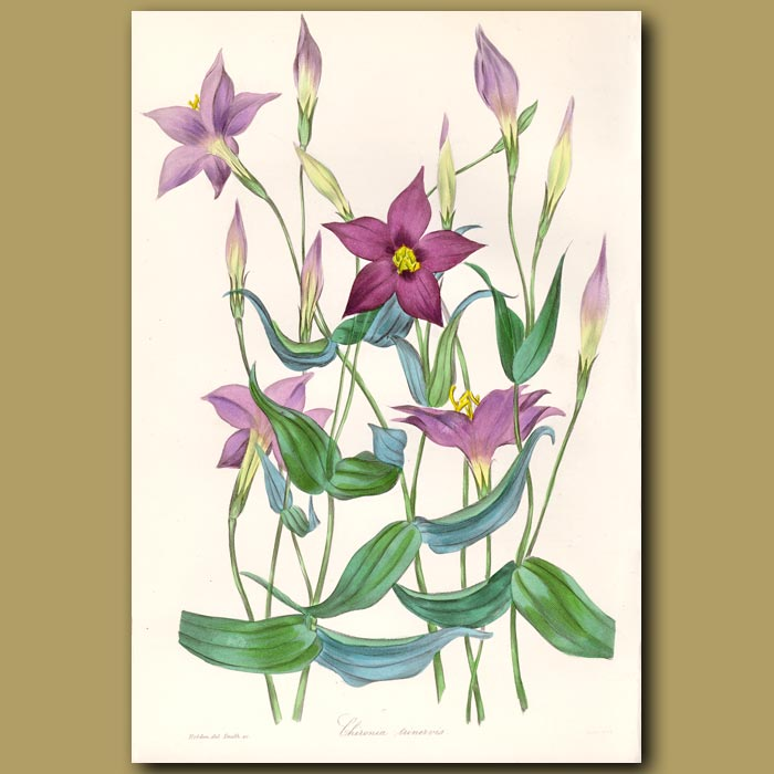 Antique print. Centaury - used by ancient Greeks for healing