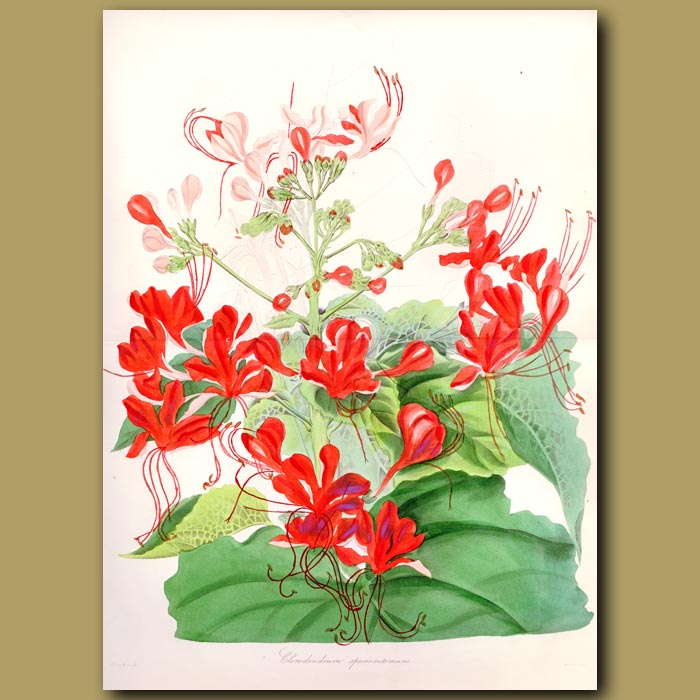 Antique print. Pagoda Flower. (Double sized fold out print)