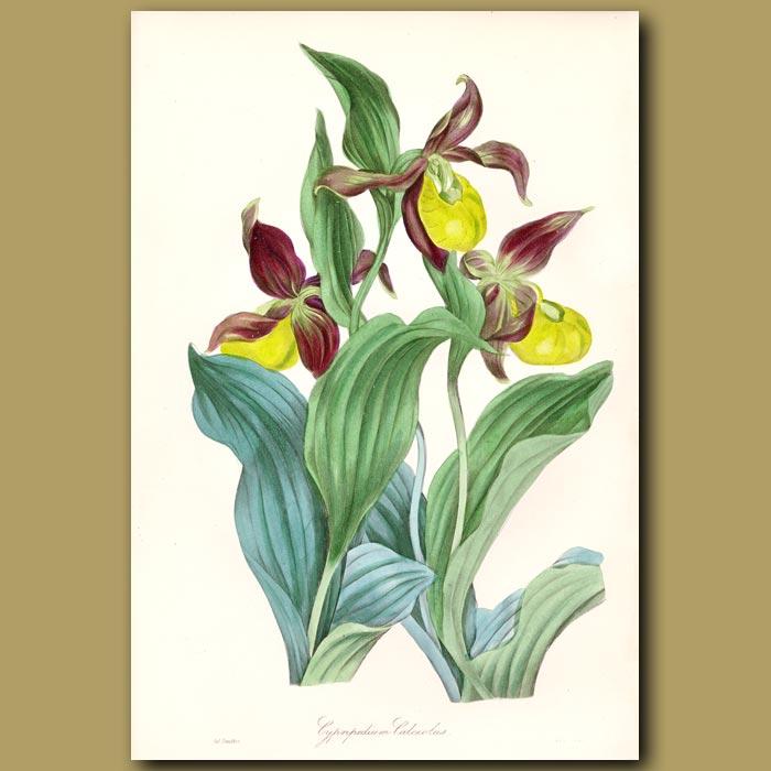 Antique print. Common Ladies Slipper Orchid
