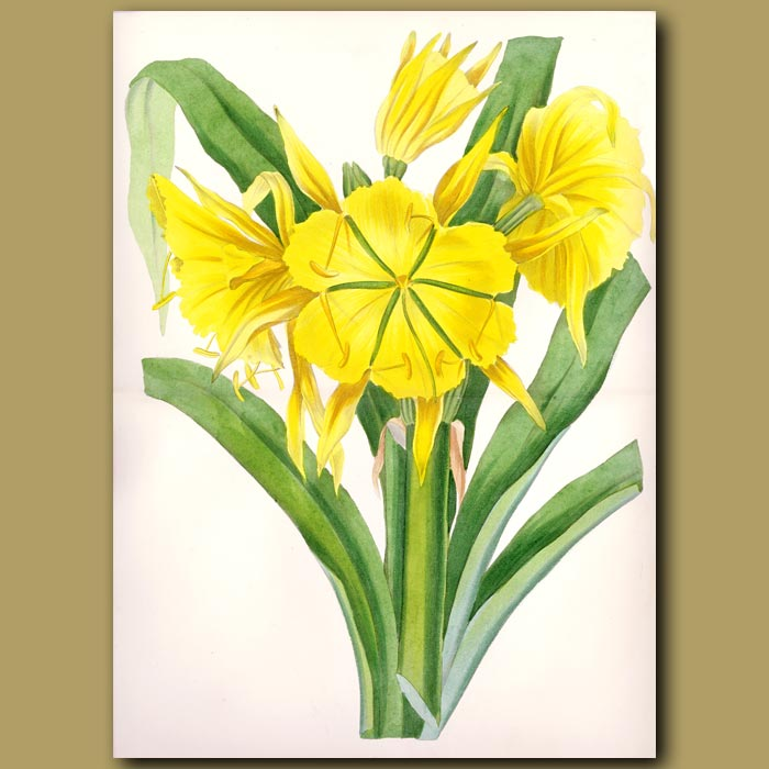 Antique print. Narcissus flowered ismene (double sized fold out print)