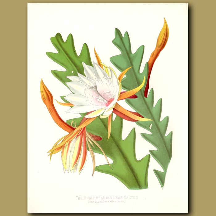Antique print. The Angle Bearing Leaf Cactus