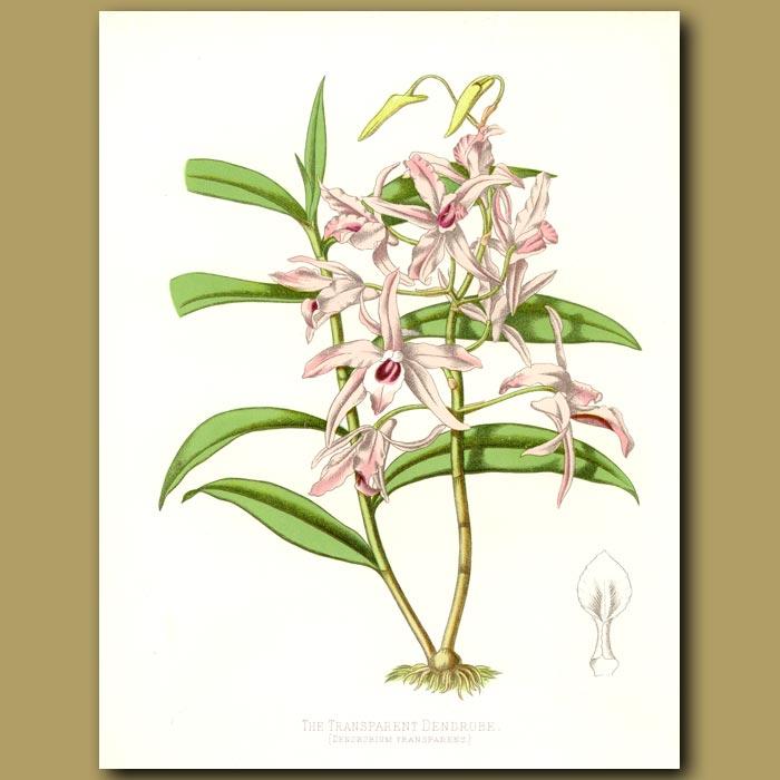 Antique print. The Transparent dendrobe Orchid