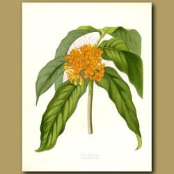 The Asoca Tree (fragrant)