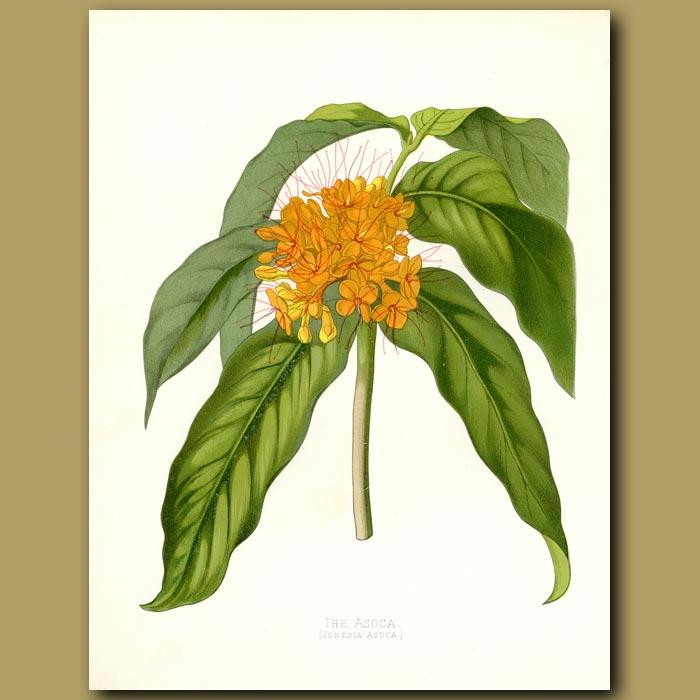 Antique print. The Asoca Tree (fragrant)