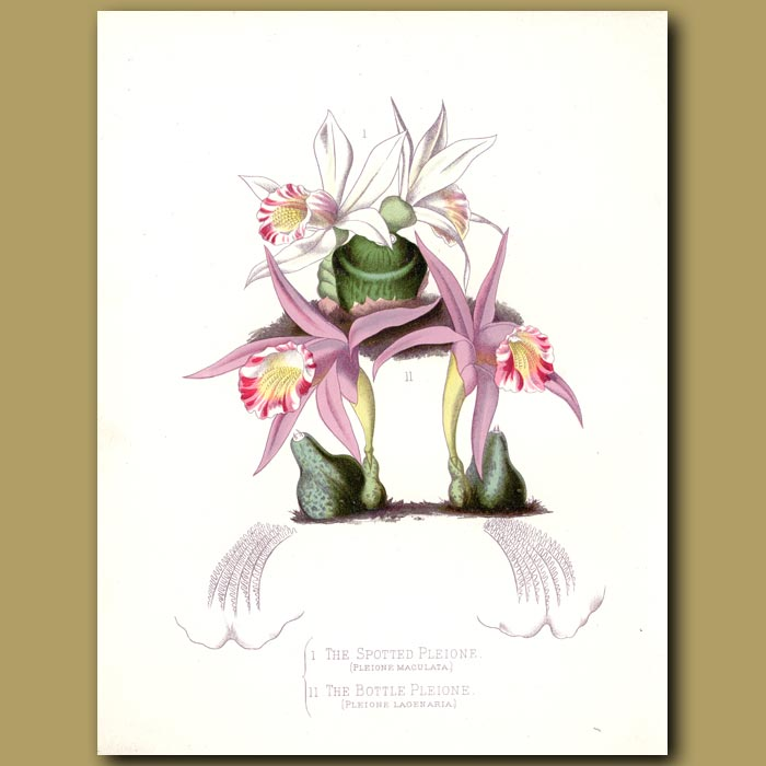 Antique print. The Spotted Pleione and Bottle Pleione Orchids