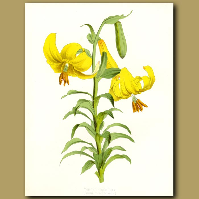 Antique print. The Loddiges Lily
