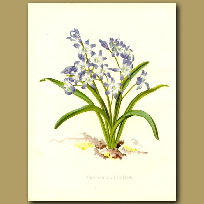 Antique print. Blue Flowers