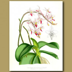 Orchid: The Pink Butterfly Plant