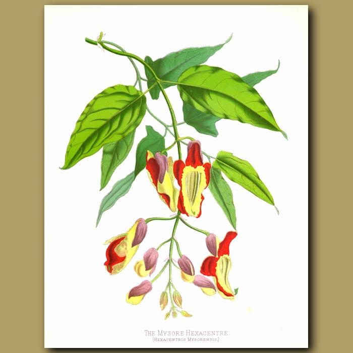 Antique print. Orchid. The Mysore Hexantre
