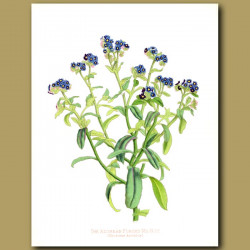 The Azorean Forget Me Not