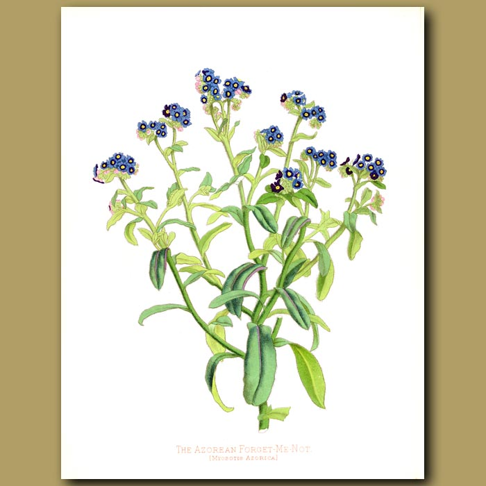 Antique print. The Azorean Forget Me Not