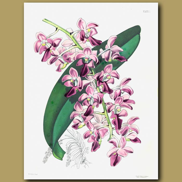 Antique print. Orchid: The Thick Leaved Air Plant