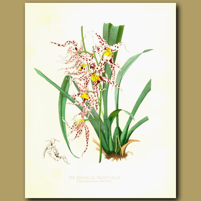 Antique print. Orchid: The Speckled Odontoglot