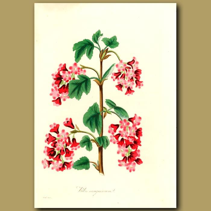 Antique print. Red Flowering Currant