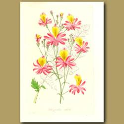 Blunt-Petalled Schizanthus