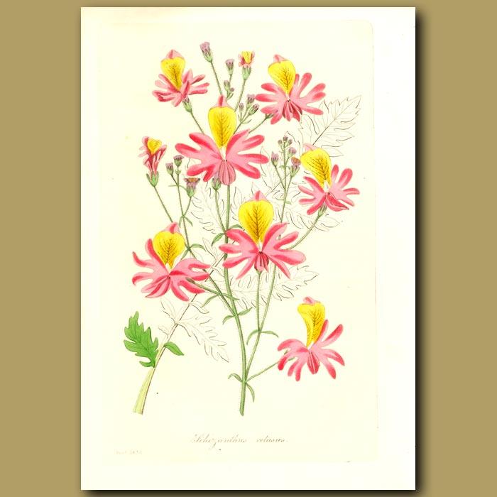 Antique print. Blunt-Petalled Schizanthus